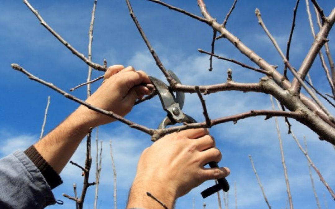 ¿Cómo se poda un árbol frutal?